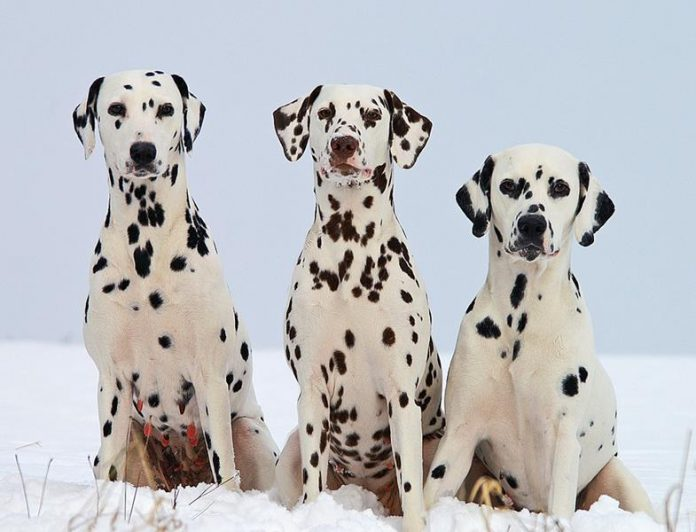 Dalmatian, dog breed, quiz