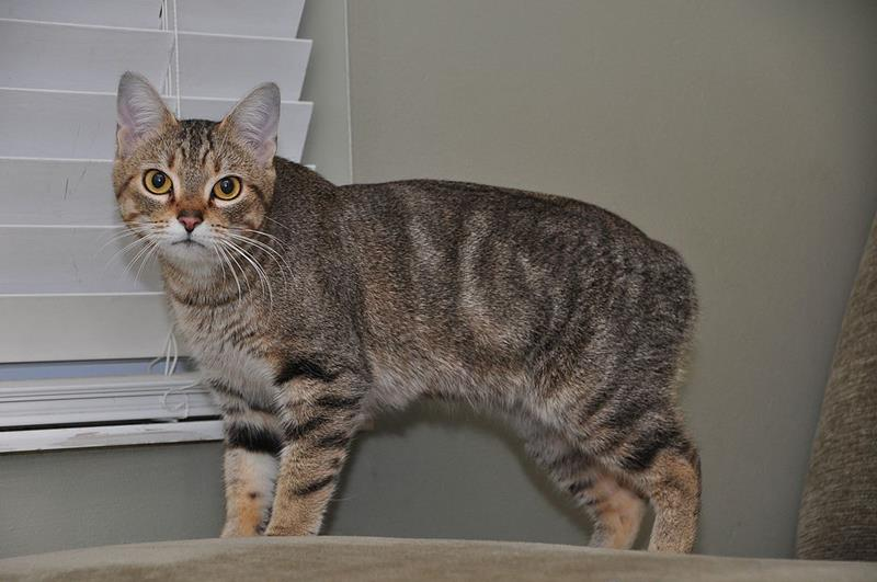 Manx cat, cat breed without tail