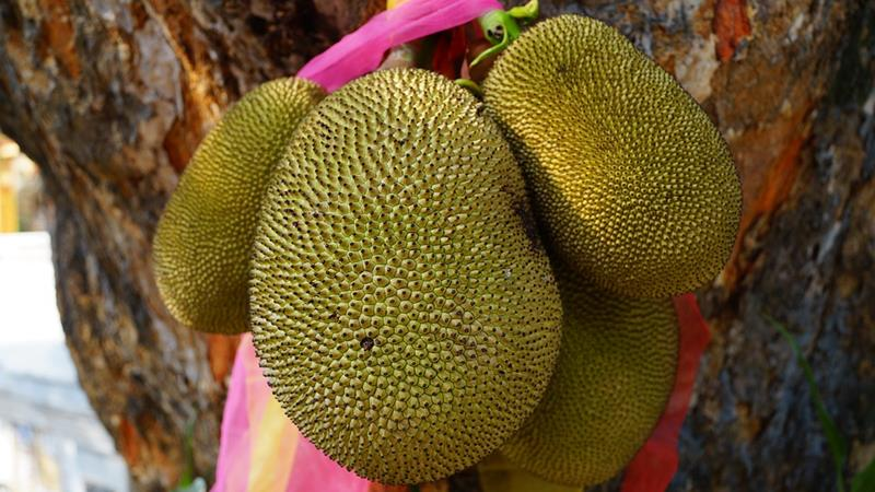 Jackfruit-jack tree-artocarpus heterophyllus-big exotic fruit